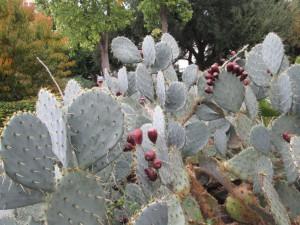 kaktusy-w-the-Alamo